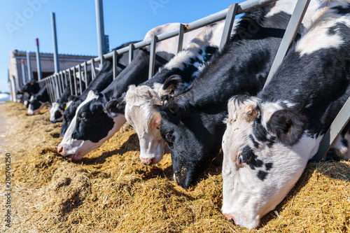 Foto breed of hornless dairy cows eating silos fodder in cowshed farm somewhere in ce
