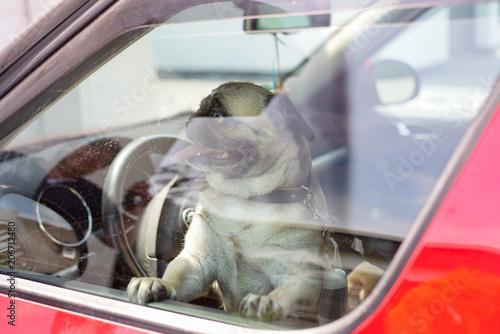 Kleiner Hund (Mops) sitzt alleine im Auto.