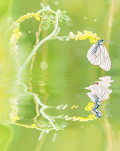 White Butterfly And Yellow Flo...