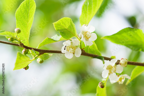 Flowering vines Actinidia colomicta (lat Wallpaper Mural