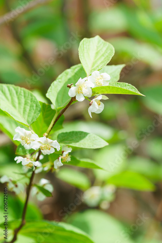 Flowering perennial shrub vines Actinidia colomicta (lat Wallpaper Mural