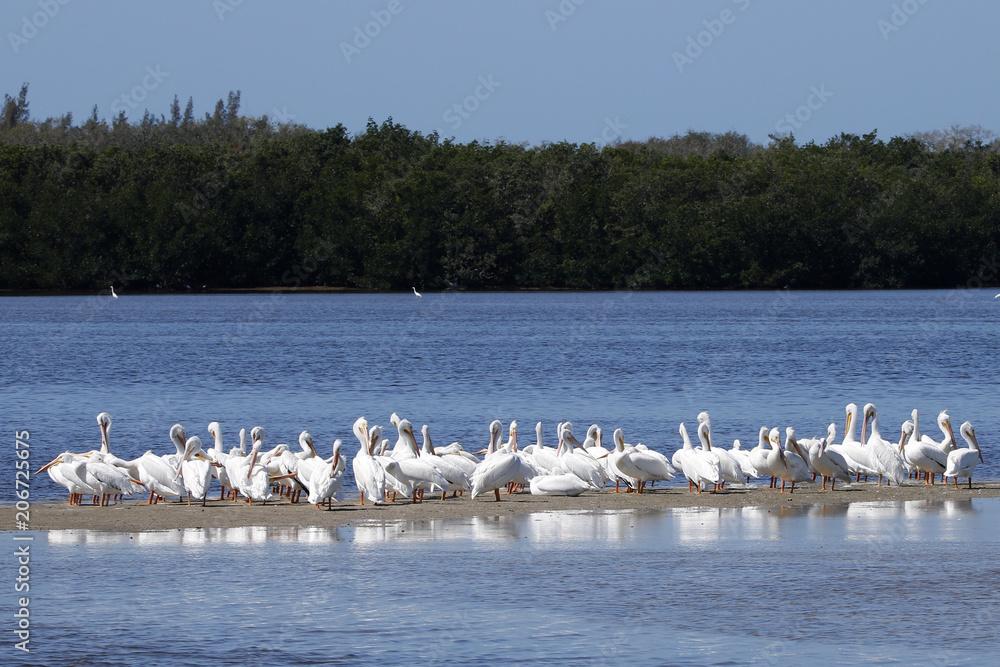 Fotografija  A squadron of American White Pelicans (Pelecanus erythrorhynchos) gathered on shore