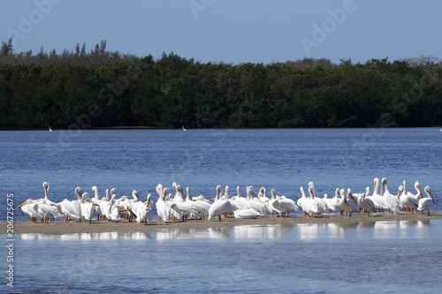 A squadron of American White Pelicans (Pelecanus erythrorhynchos) gathered on shore Tablou Canvas