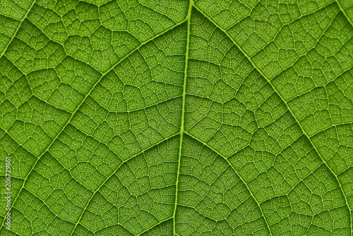Garden Poster Decorative skeleton leaves green leaf texture in backlight