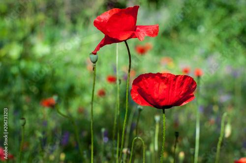 Poster Klaprozen Poppies in a garden