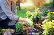 Leinwandbild Motiv woman planting summer flowers in home garden bed