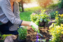 Woman Planting Summer Flowers In Home Garden Bed