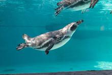 Swimming Penguin In Clean Water