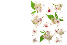 Chestnut Flower Or Aesculus Hippocastanum With Leaves Isolated On White Background With Copy Space For Your Text