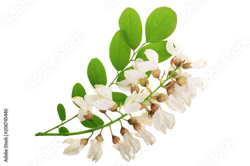 Blossoming acacia with leafs isolated on white background, Acacia flowers, Robinia pseudoacacia Wallpaper Mural