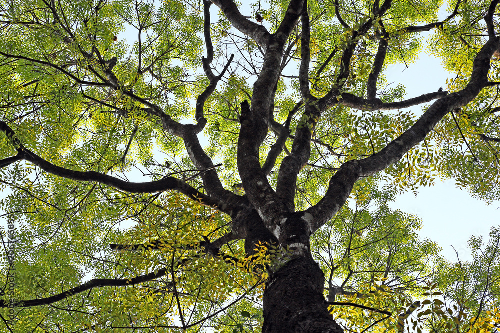 Photo & Art Print Mahogany tree canopy with colorful and