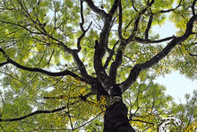 Mahogany Tree Canopy With Colo...