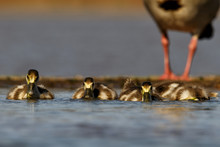 Young Egyptian Goose Swimming And Diving In A Pool In Zimanga Private Game Reserve In South Africa