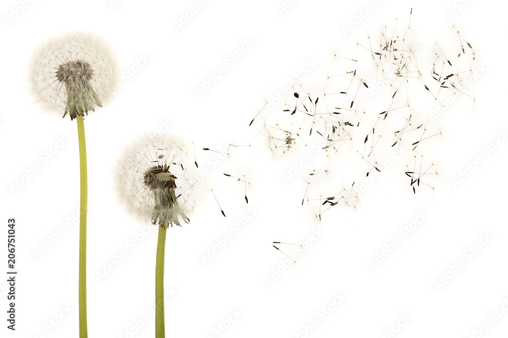 Old dandelion isolated on white background closeup