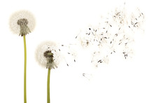 Old Dandelion Isolated On Whit...