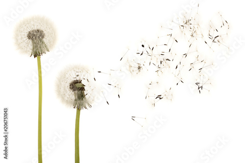 Spoed Foto op Canvas Paardenbloem Old dandelion isolated on white background closeup