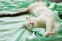 What A Cat Does When A Person Is Not At Home. Sweet Dream Of A Spoiled Cat