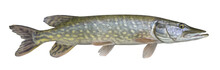 Pike Fish Trophy Isolated On W...