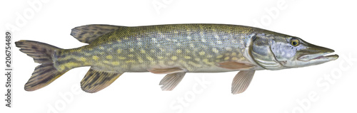 Fotografía  Pike fish trophy isolated on white background