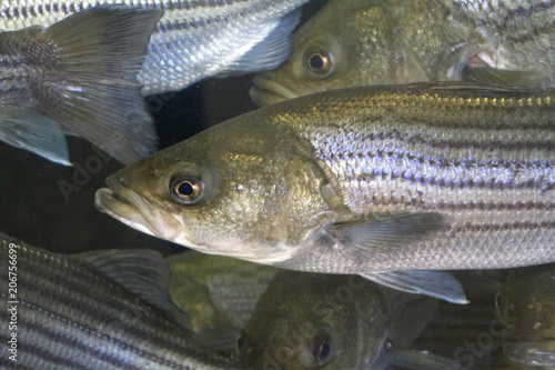 Striped Bass Close Up