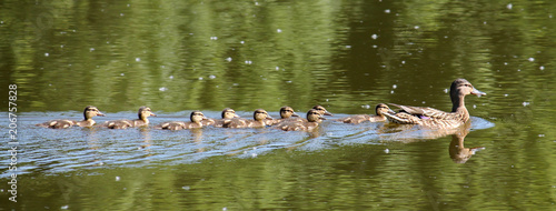 Swimming female Mallard duck (Anas platyrhynchos) with chicks