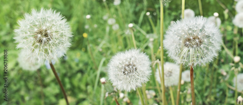 Dandelions. Summer field with white dandelions flowers close up