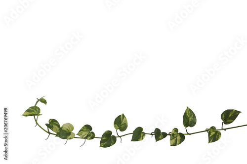 Wall Murals Floral Golden pothos isolate on white background.