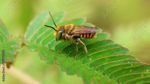 Foto op Plexiglas Macrofotografie Green eyed bee on Mimosa pudica leaves.