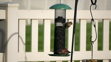 Male And Female House Finches Eat Sunflower Seeds From A Back-yard Feeder