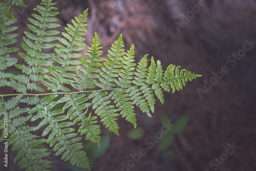 Bracken Fern from Above