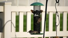 Five Male And Female House Finces Eat Sunflower Seeds From A Back-yard Feeder