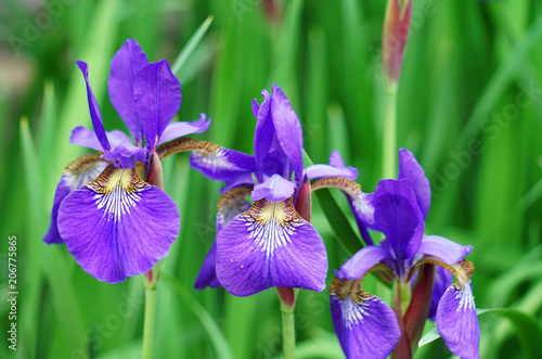 purple Iris flower blooming with green leaves