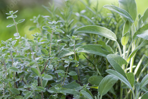 fresh herbs in a garden