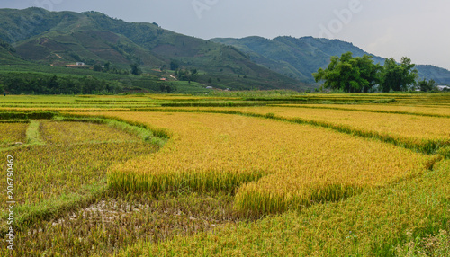 Printed kitchen splashbacks Khaki Terraced rice field in Northern Vietnam