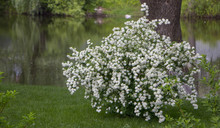 Spiraea, A Flowering Bush On Green Grass Spiraea, A Flowering Bush On Green Grass. Used In Landscape Design.