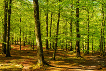 Lovely Green Beech Forest On A...