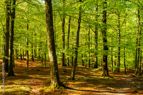 Papiers peints Forets Lovely green beech forest on a sunny morning. Soderasen national park in Sweden.