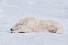 Wild Polar Wolf Is Sleeping On...