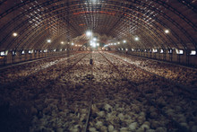 Thousands Of Small Chickens Ar...