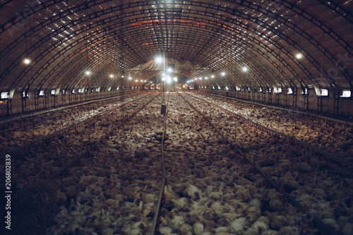 Photo Thousands of small chickens are preparing to become human food