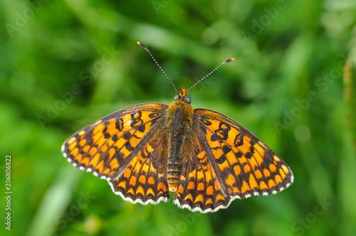 Foto op Plexiglas Macrofotografie Melitaea arduinna, fritillary butterfly on wild flower. Colorful butterfly in nature