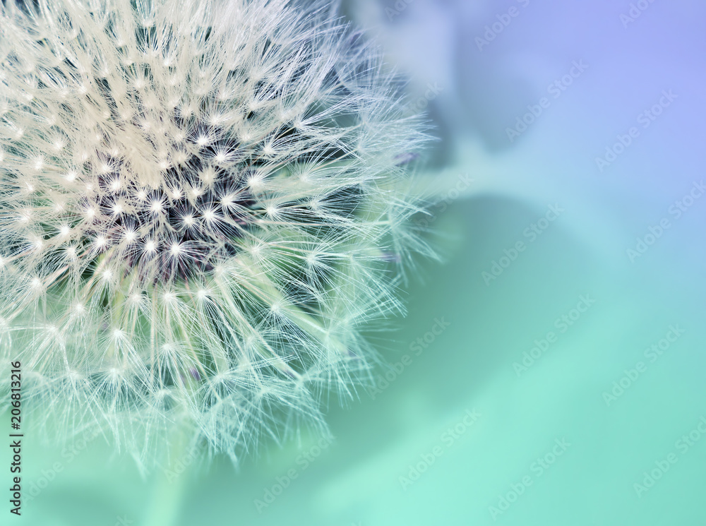 Fototapety, obrazy: Dandelion. Dandelion close up on abstract blurred background