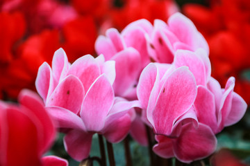 Beautiful pink and red cyclamen flowers