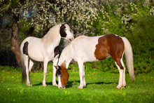 Two Pinto Horse On Spring Pasture