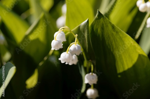 Foto op Plexiglas Lelietje van dalen Macro photo of Lily of the valley (Convallaria majalis) flowers w