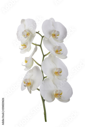Wall Murals Lily of the valley branch of orchid isolated