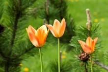 Orange Tulip Growing In The Garden On Green Background