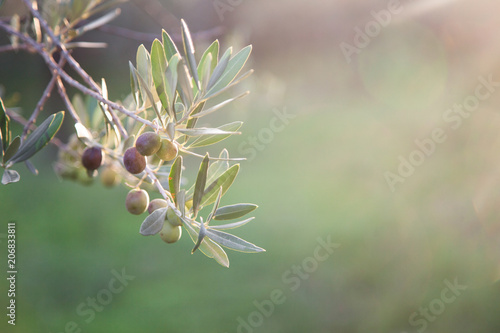 Tuinposter Olijfboom Ripe olives are on branch and tree. Green background with free space for text.