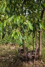 Zimtbaum, Cinnamomum Verum