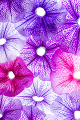 Fototapetabackground from flower petals - purple petunia